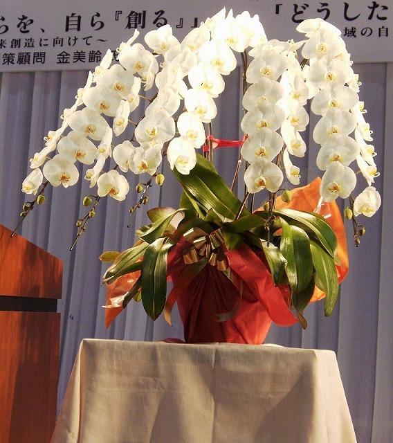 胡蝶蘭 白5本立 スペシャルサイズ(80輪以上)
